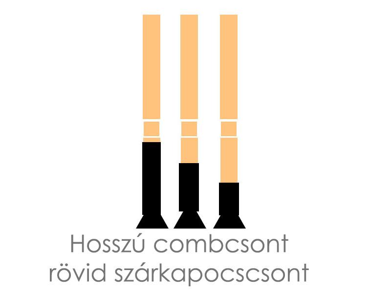 hosszu-combcsont